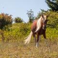 Wild pony near Grayson Highlands State Park. - Wilburn Ridge Loop via Pine Mountain + the Appalachian Trail