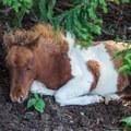 Wild pony.- Wilburn Ridge Loop via Pine Mountain + the Appalachian Trail