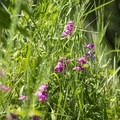 Wildflowers along the shore.- Pere Marquette River: Indian Bridge to Scottville Riverside Park