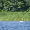 A swan glides over the lake.- Pere Marquette Lake Loop