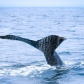 A humpback whale fluke emerges as the whale prepares to dive.- Santa Cruz Whale Watching