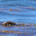 A mother sea otter rests in the kelp with her baby on her chest. This is one of the possible sites along the whale watching tour.- Santa Cruz Whale Watching