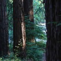 Redwoods stand along the Highland Trail.- Highland Loop
