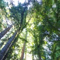A young redwood canopy on the Highland Trail.- Highland Loop