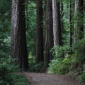 Redwood groves are only a few miles from the Pacific Ocean along the trail.- Skyline To The Sea Loop