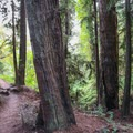The bypass trail is singletrack with a lot more elevation variation, and it heads past stands of redwoods in the park's hills.- Skyline To The Sea Loop