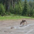Deer grazing at the trailhead.- Smutwood Pass