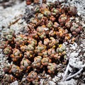 Succulents growing on the granite of North Dome. - North Dome + Indian Rock Via Porcupine Creek Trailhead