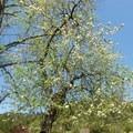 Flowering tree along the Stream Trail.- Redwood Regional Park