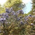 Flowering California lilac. - Redwood Regional Park
