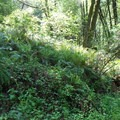 Ferns along the Stream Trail.- Redwood Regional Park