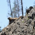 Hoary Marmot- Crescent Lake Hike via Specimen Creek Trail