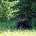 North American moose (Alces alces).- Crescent Lake Hike via Specimen Creek Trail