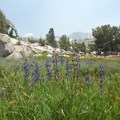 Lupine is one of several species of wildflowers around Vogelsang.- Vogelsang High Sierra Camp