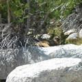 Yellow bellied marmot. - Vogelsang High Sierra Camp