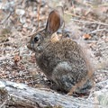 A young jackrabbit seen from South Fork Trail.- South Fork Trail to Broken Hill Overlook