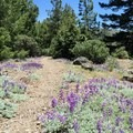 Lupine and other wildflowers line the trail in spring and early summer. - Snow Mountain via Deafy Glade