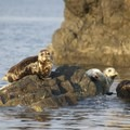 Mid-July is pupping season, and you can see a lot of new faces in the rocks. - Lasqueti Islands Coast Paddle