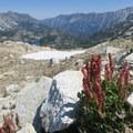 Unique alpine blooms near the top of Eagle Cap.- Eagle Cap