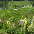 Flowering meadow in the Eagle Cap Wilderness.- Eagle Cap