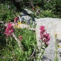 Paintbrush in the Eagle Cap Wilderness.- Eagle Cap