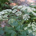 Yarrow blooms along the East Lostine River.- Eagle Cap