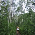 The aspens here are large and the grove is thick. - Iron Canyon Trail