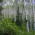You can't even see through the grove with this many aspen. - Iron Canyon Trail