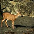 Deer on Third Beach.- Toleak Point
