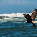 Bald Eagle with prey.- Toleak Point