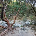 A large manzanita tree marks a flat area great for picnicking or hanging out near Spring Creek.- Spring Creek Trail