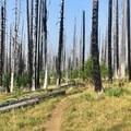 Trail through the burn area.- Three Fingered Jack Loop
