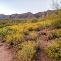 Spring wildflowers in the desert.- Hieroglyphic Trail