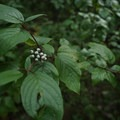 Berries along the path provide food for the abundant wildlife in the area.- Teeter Creek Falls