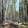 A large and beautiful stand of lodgepole pines.- Deer Lake