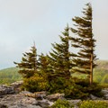 Flag trees in a morning fog. - Bear Rocks Preserve