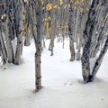 Birch trees along Breathed Mountain Trail.- Breathed Mountain to Red Creek