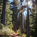 A hiker makes his way through some old-growth forest.- Middle Sister: West Approach