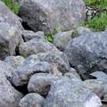 Pikas love the rocky terrain along the Beaten Path- The Beaten Path