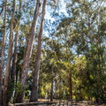 The monarch butterflies migrate to these eucalyptus trees for food and shelter during migration season.- Monarch Butterfly Grove + Meadow Creek Trail