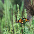 The monarch butterflies that migrate here have an average life span of six months. Many other similar species live only six weeks!- Monarch Butterfly Grove + Meadow Creek Trail