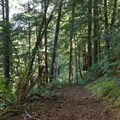 The Humbug Mountain Trail passes through large stands of old-growth Douglas fir along with more scenic forested stands of trees.- Humbug Mountain State Park