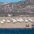 Great white pelicans.- Rancho Guadalupe Dunes Preserve