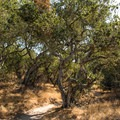 Santa Maria is known for it's old oak trees, and Orcutt Hill does not disappoint!- Orcutt Hills Trail