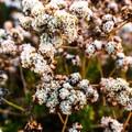California buckwheat flower.- Nipomo Native Garden Loop