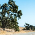 Cyclist on the south end of Foxen Canyon Road cruising past a large oak tree.- Foxen Canyon Cycle + Wine Tour