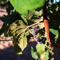 Harvest season in Foxen Canyon.- Foxen Canyon Cycle + Wine Tour