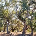 Most of the trees in the park are old oak and are tagged for identification and research.- Los Flores Ranch Park