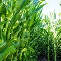 Los Flores Ranch Park has a corn maze! Check out The Patch in October for fun Halloween festivities for the whole family.- Los Flores Ranch Park