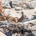 Deer are often seen along the trail.- Glen Aulin High Sierra Camp to Waterwheel Falls